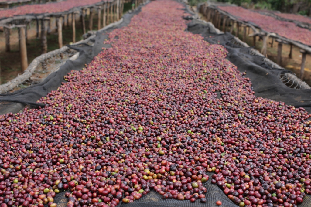 Whole coffee cherries scattered on beds to dry in the sun.