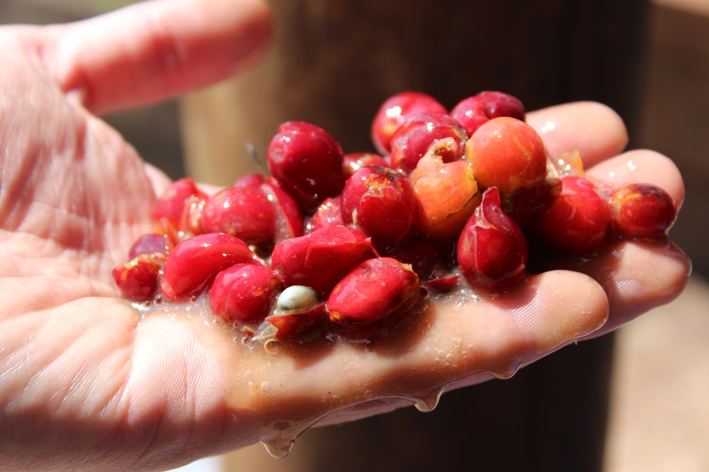Cherry skins after they've been removed from the seeds, during the washed process.